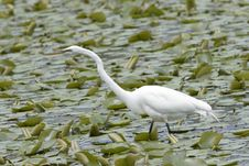 Free Great Egret Royalty Free Stock Photos - 1006648