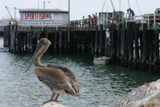 Free Pelican Roost Royalty Free Stock Photos - 1007448