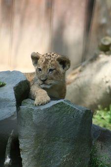 Free Lion Royalty Free Stock Photos - 1007678