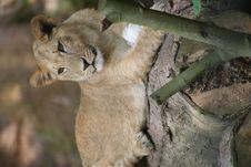 Free Lion Stock Photo - 1007900