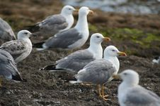 Free Seagull Family Royalty Free Stock Image - 1008396