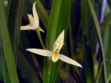 Free Orchid: Nidema Bothii Stock Photo - 1009080
