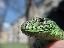 Free Lizard Stock Image - 1009161