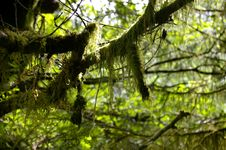 Free Moss On Branch Royalty Free Stock Photography - 1009167