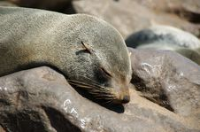 Free Sleeping Seal Royalty Free Stock Photo - 1009435