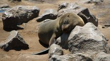 Free Seal At Sleep Stock Images - 1009444