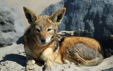 Free Portrait Of A Jackal Royalty Free Stock Image - 1009446