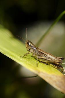 Free Grasshopper Stock Image - 1009571
