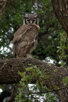 Free Vereaux S Eagle Owl Royalty Free Stock Photos - 1009648