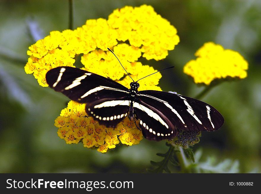 Black butterfly on yellow flower