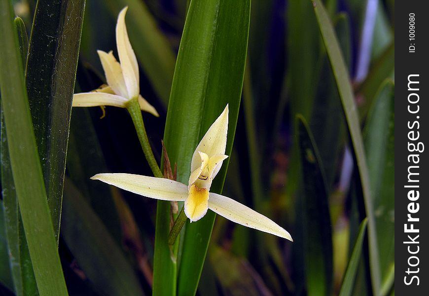 Orchid: Nidema bothii