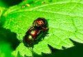 Free Leaf Beetles Making Love Royalty Free Stock Photo - 10008865
