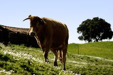 Free Cow On The Grass Royalty Free Stock Photos - 10001478