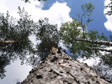 Free Trees Into The Sky Stock Image - 10005391