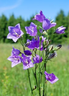 Free Violet Flowers Against A Green Grass Royalty Free Stock Photography - 10006617