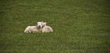 Free Lambs Stock Images - 10008194
