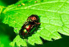 Leaf Beetles Making Love Royalty Free Stock Photo
