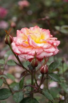 Free Pink Rose With Rosebuds Royalty Free Stock Photography - 10009927