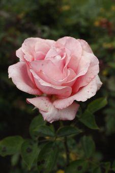 Free Rose Royalty Free Stock Photos - 10009938