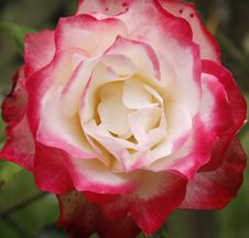 Free Pink And White Rose Royalty Free Stock Image - 10009986