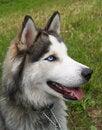Free Husky Dog Stock Images - 10010954