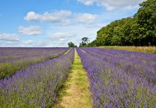Free Lavender Rows Royalty Free Stock Photos - 10011268