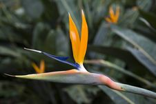 Free Strelitzia Reginae Royalty Free Stock Photography - 10011407