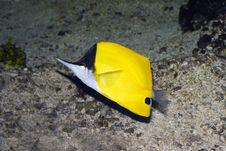 Longnose Butterflyfish Stock Photo
