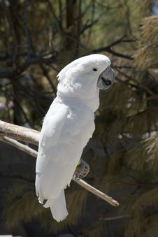 Free White Parrot Perching Royalty Free Stock Images - 10013739