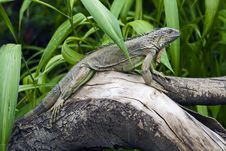 Free A Green Iguana Royalty Free Stock Images - 10014129