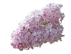 Free Lilac Royalty Free Stock Images - 10014559