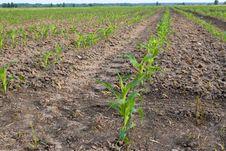 Free Corn Stock Images - 10014974