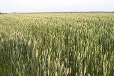 Free Grain Royalty Free Stock Photo - 10015425