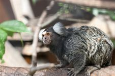 Free Tamarin On Tree Branch Stock Photography - 10016202