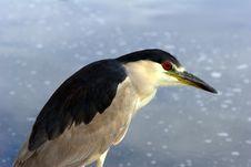Black-crowned Night-heron Stock Photography
