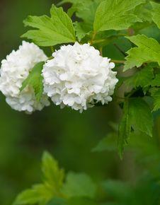 White Flower Bush Royalty Free Stock Image