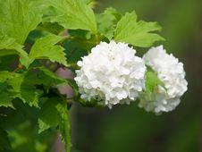 Free White Flower Bush Royalty Free Stock Photography - 10017087
