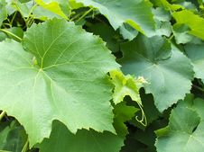 Free Leaves Of Grapes Stock Photography - 10017732