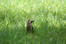 Free Bird In The Grass Royalty Free Stock Photos - 10018098