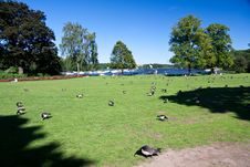Free Red Grouse In The Royal Park Djurgarden,Stockholm- Royalty Free Stock Photos - 10019678