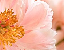 Free Flower, Pink, Flowering Plant, Peony Royalty Free Stock Images - 100194209