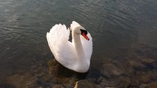 Free Swan, Bird, Water Bird, Ducks Geese And Swans Royalty Free Stock Image - 100194856