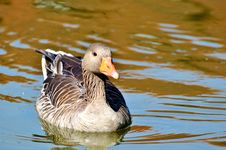 Free Bird, Duck, Water Bird, Ducks Geese And Swans Stock Image - 100194941