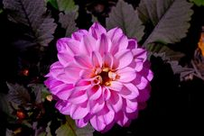 Free Flower, Pink, Plant, Flowering Plant Royalty Free Stock Photography - 100195337