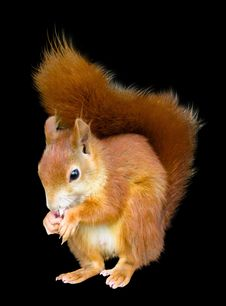 Free Squirrel, Mammal, Fauna, Rodent Stock Photo - 100195640