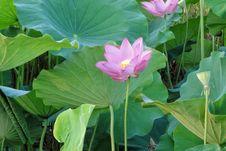 Free Flower, Plant, Sacred Lotus, Lotus Stock Images - 100195674
