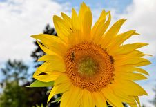 Free Flower, Sunflower, Yellow, Sunflower Seed Royalty Free Stock Image - 100196006