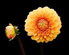 Free Flower, Yellow, Flowering Plant, Dahlia Royalty Free Stock Photo - 100197435