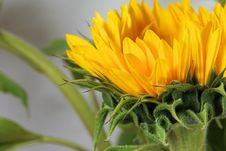 Free Flower, Yellow, Sunflower, Close Up Stock Photo - 100197880