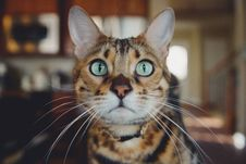 Free Cat, Whiskers, Small To Medium Sized Cats, Dragon Li Stock Photos - 100197913